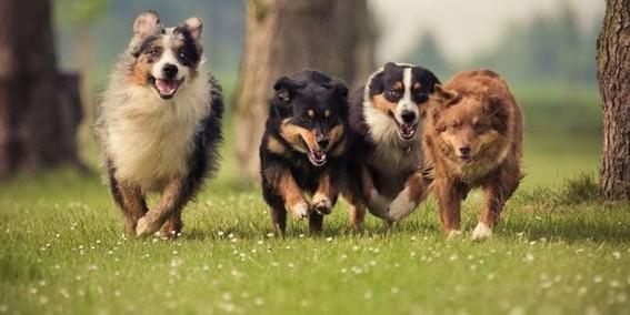 los perros usan una parte similar de su cerebro para procesar numeros de objetos como los humanos y necesitan ser entrenados para hacerlo