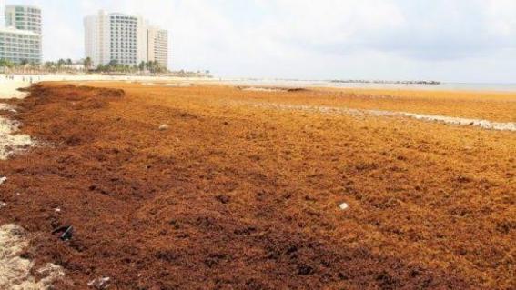 la dependencia buscara alternativas que reduzcan el impacto producido por esta alga
