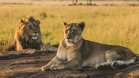 cazadores furtivos envenenan a 8 leones; mutilan sus hocicos y patas