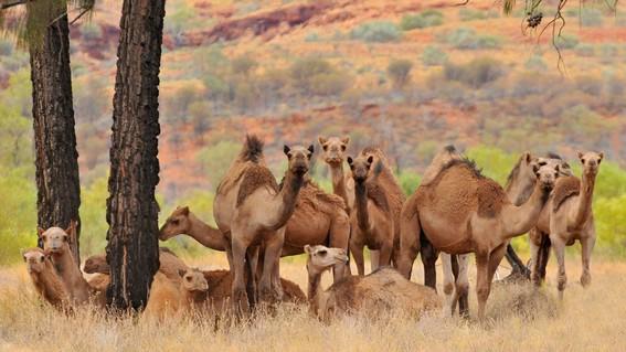 mataran a 10 mil camellos que buscan agua en australia