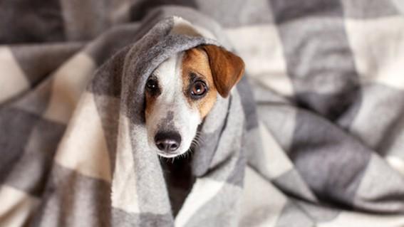 que es el coronavirus canino sus sintomas y tratamiento