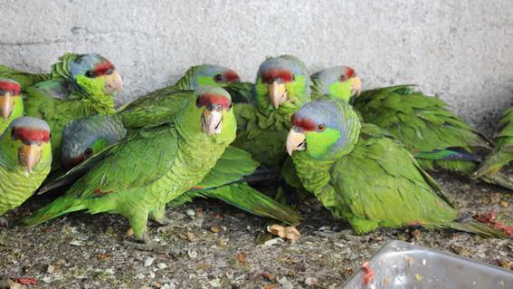 cortan alas a 106 loros en peligro de extincion en mazatlan