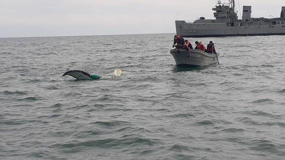 la ballena se encontraba atrapada en una red de pesca prohibida; elementos de la marina profepa y conanp trabajaron en conjunto para liberarla