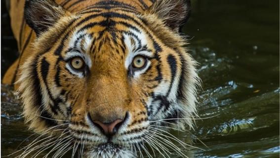 un tigre del zoo del bronx en nueva york estados unidos resulto positivo en las pruebas para detectar la presencia de covid19