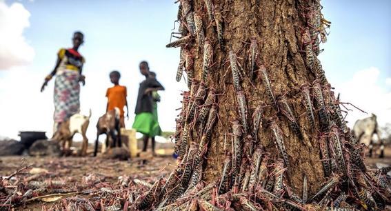 plaga de langostas azota el desierto de africa la peor en 70 anos
