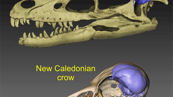un publicado revela que antes de la extincion masiva al final del periodo cretacico las aves y los dinosaurios tenian tamanos cerebrales similar