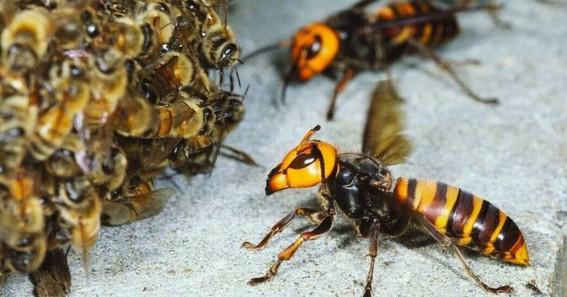 matan indiscriminadamente a cientos de abejas por miedo a los avispones asesinos