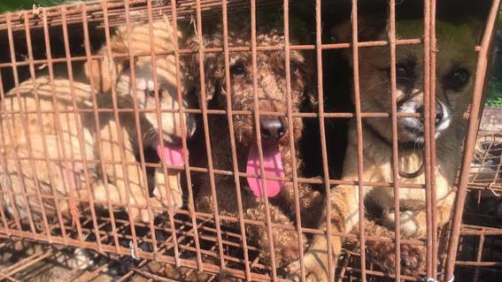 carne de perro china consumo festival