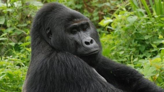 asesinan a gorila rafiki uganda
