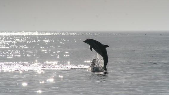 ciencia delfines aprenden a comer como grandes simios