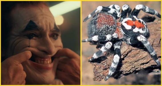 descubren arana parecida al joker y la llaman como joaquin phoenix