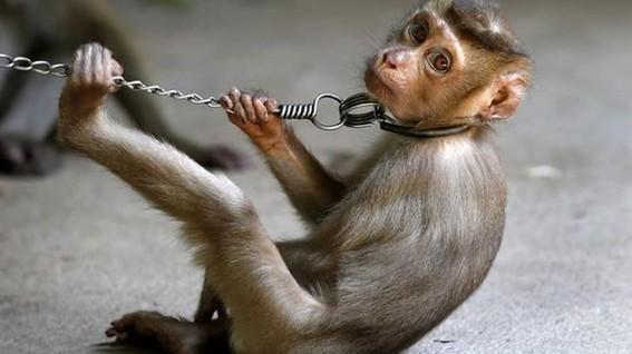monos son esclavizados para recolectar cocos en tailandia