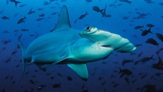 tiburones estan en peligro de extincion por venderse como pescado