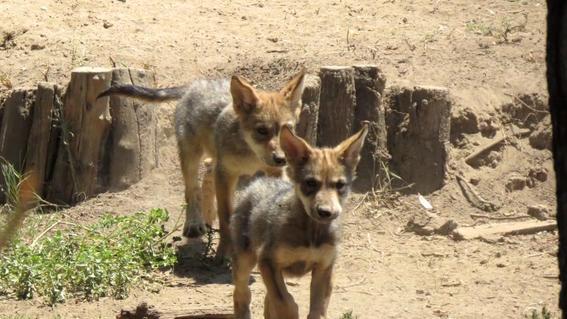 nombre cachorro de lobo mexicano zoologico de san juan de aragon