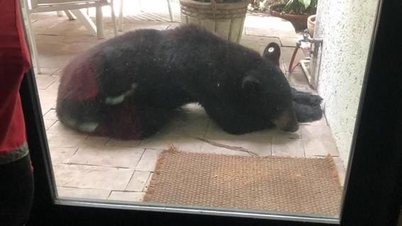 capturan a oso chipinque monterrey