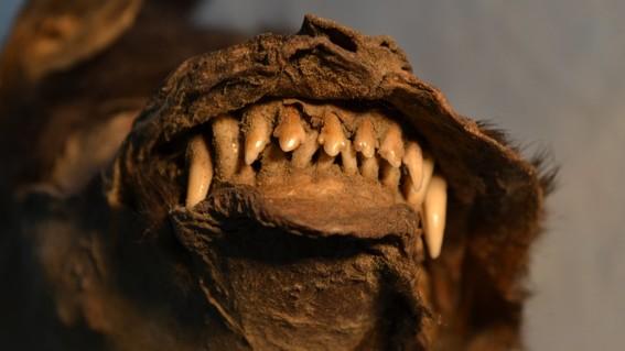 cachorro rusia rinoceronte estomago