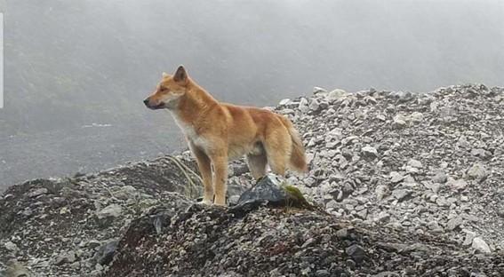 reaparece perro cantor de nueva guinea especie que se creia extinta