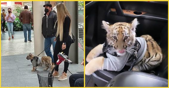 captan a mujer paseando a un cachorro de tigre en antara