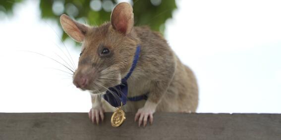 rata medalla de oro