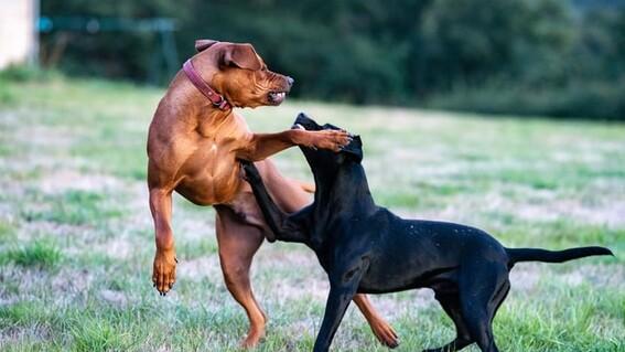 carcel peleas de animales