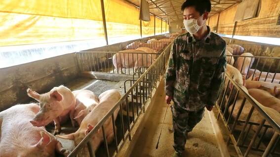 cerdos china peste porcina