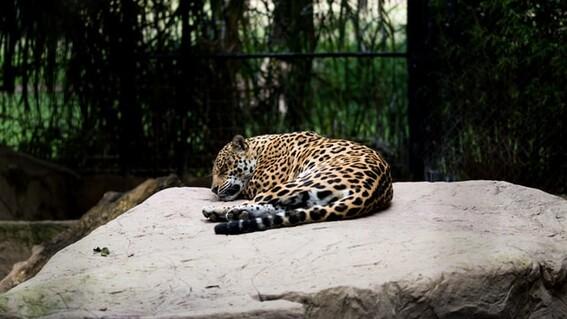 atropellan a jaguar carretera campeche