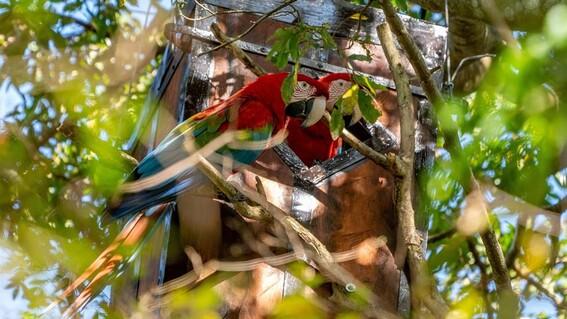 crias guacamayo rojo en argentina