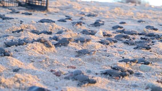 historico nacen miles de tortugas en sonora gracias a la pandemia