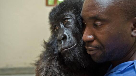 foto viral de gorila huerfana abrazando a cuidador como si fuera su madre