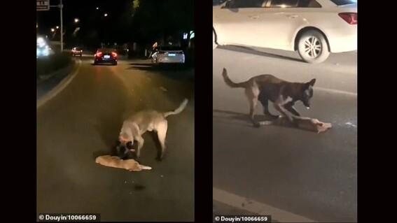 perro intenta revivir a un gato que fue atropellado en la carretera