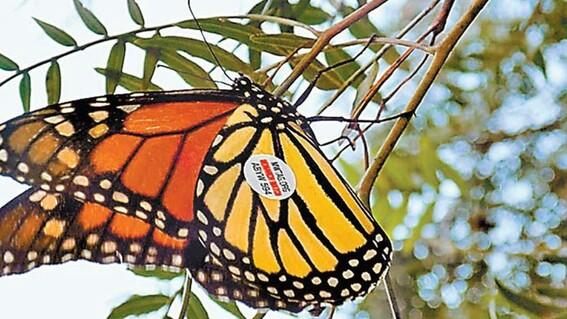 captan mariposa monarca etiquetada en iowa en guanajuato