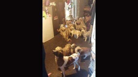 rescatan a 60 perros en malas condiciones en vivienda en uruapan