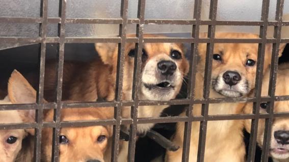 perros hacinados japon