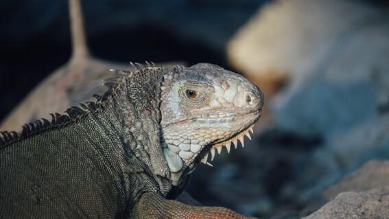 robo iguanas juchitan oaxaca