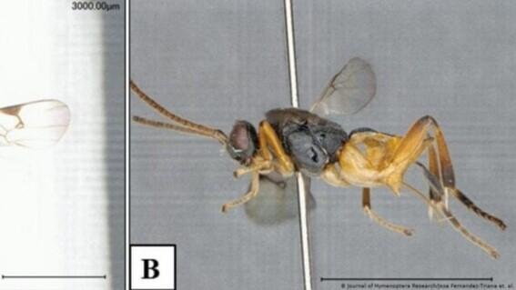 godzilla la nueva especie de avispa descubierta en japon