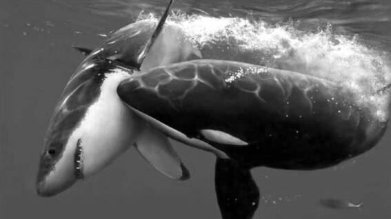 las orcas culpables de la escasez de tiburon blanco en la costa de sudafrica