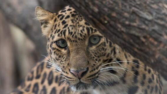 tren maya proteccion jaguar medio ambiente