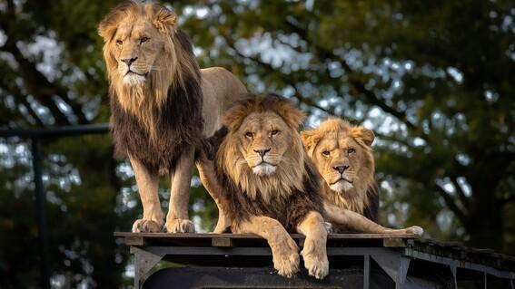 cuatro leones dan positivo a covid19 en zoologico de barcelona