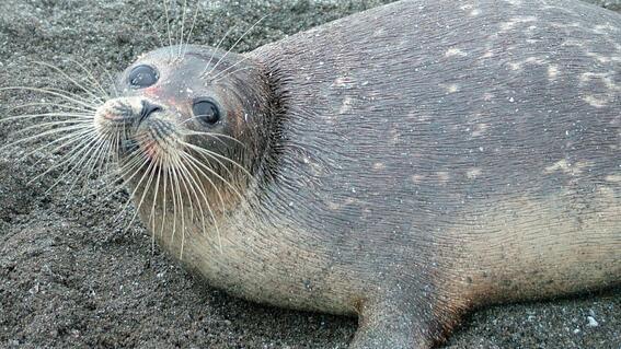 encuentran cerca de 300 focas muertas a orillas del mar caspio en rusia