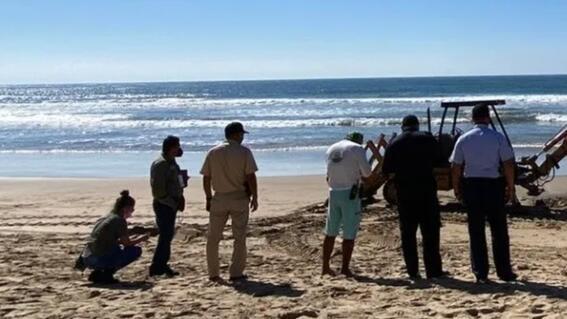 entierran a ballena jorobada que encallo muerta en playa de mazatlan