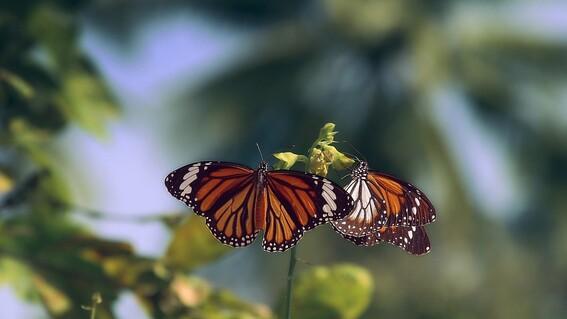 estados unidos evita declarar en peligro de extincion a la mariposa monarca