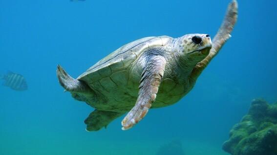 pescadores ayudan a tortuga a escapar de las fauces de un tiburon