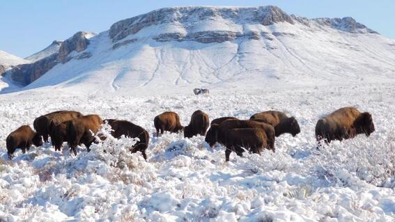 mexico reintroduce bisonte americano 100 anos despues de su desaparicion