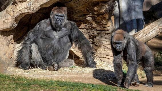 ponen en cuarentena a gorilas en zoo de san diego tras contraer covid19