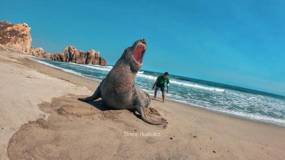 captan a un elefante marino descansando en playas de huatulco