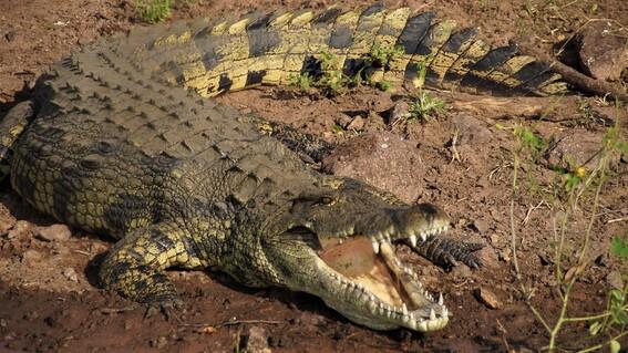 fotos salvan con cirugia a cocodrilo que se trago un zapato
