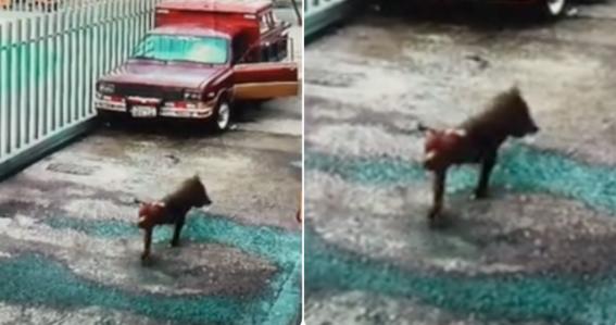 video nina salva a perro del ataque pitbull calle tiktok
