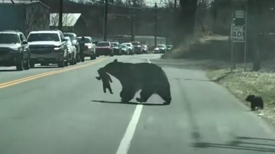 video los problemas de una mama oso para cruzar la calle con sus cachorros traviesos