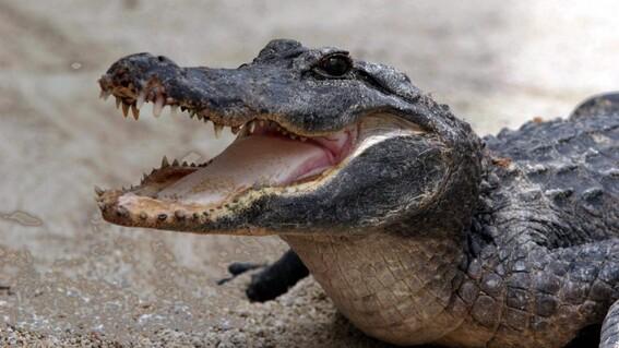 cocodrilo mata mujer lavaba tampico laguna carpintero